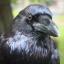 Raven Midnight Crow